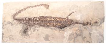 Fossil, Mesosaurus Brasiliensis